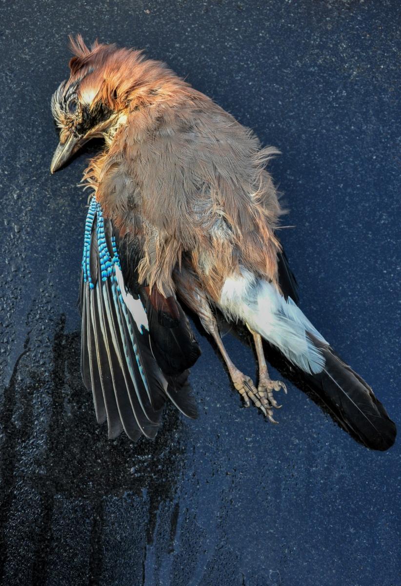 anja-blaksmark-fugle-død-skovskade