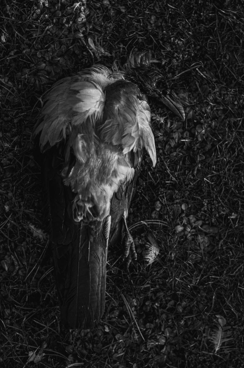 anja-blaksmark-fugle-død-krage