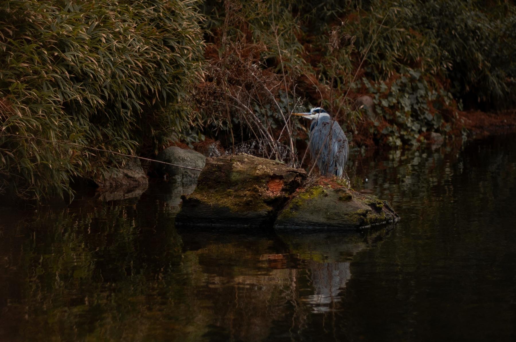 anja-blaksmark-fugle-fiskehejre