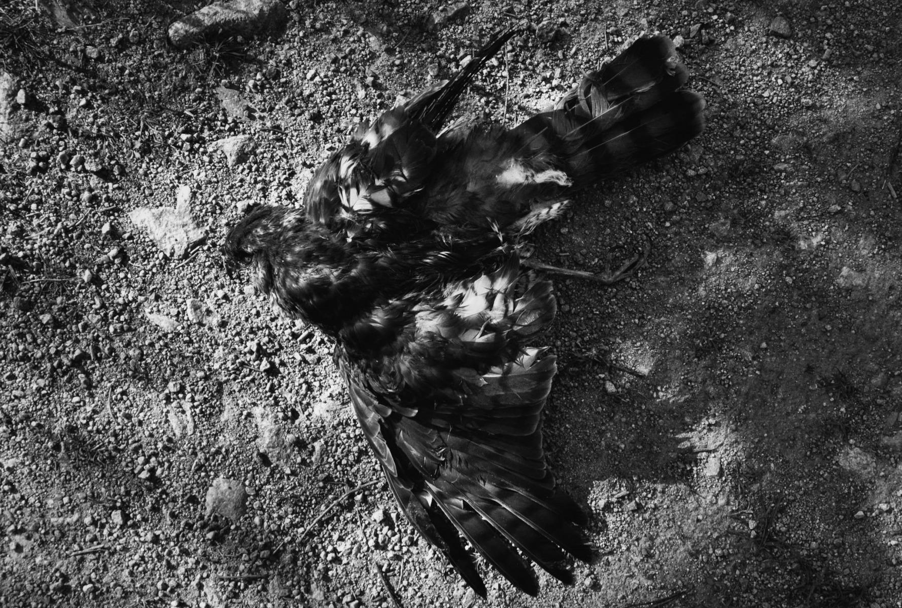 anja-blaksmark-fine-art-sorthvid-død-fugl